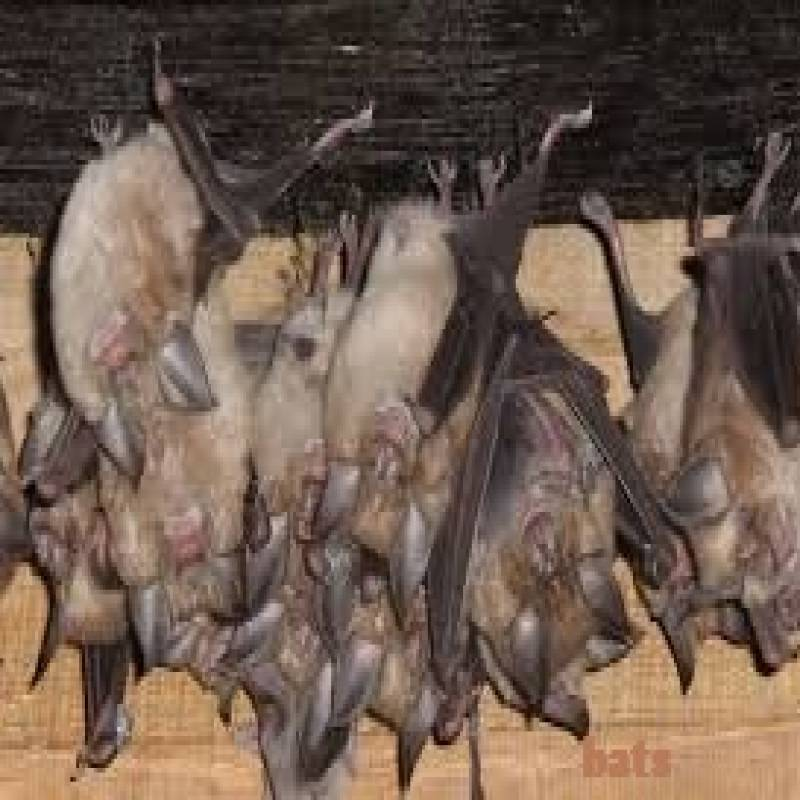 BATS CONTROL SERVICES IN KENYA